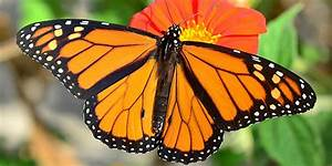 Scientists Challenge Center For Biological Diversity Report Claiming Monarch Butterflies