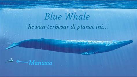 seberapa besar kah paus biru  youtube