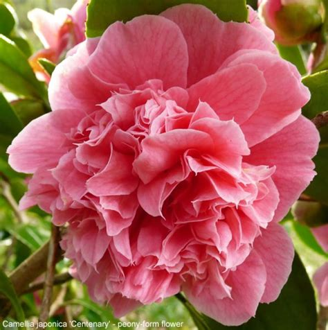 types of camellia flowers camellia inflorescence types gardening tips and advice oak leaf gardening