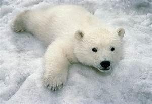 Niedźwiedź polarny | Co mi w duszy gra
