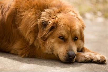 Labrador Golden Dog Goldador Breed Breeds Retriever