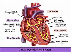Human Cardiac And Respiratory Systems  The Electrical