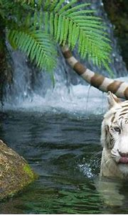 Save White Tiger - Life Clivut Spring Games
