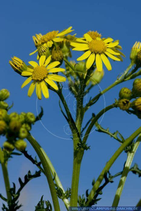 senecio jacobaea alias common ragwort ragwort ragworth