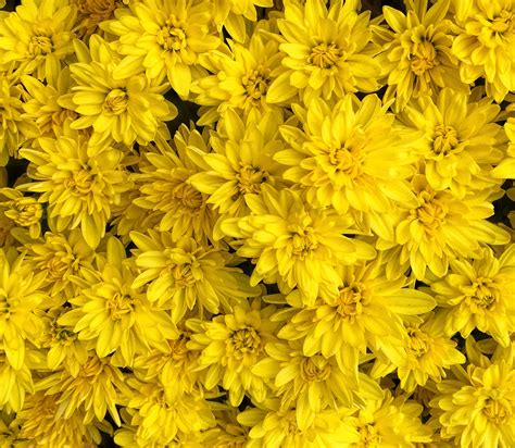 yellow mums day 361 yellow mums a year in photos
