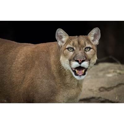 Cougar (Puma concolor) [2048x1365] : AnimalPorn