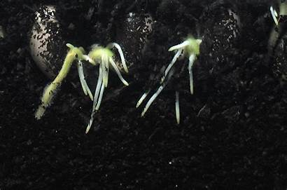 Roots Change Could Help Climate Grow Engineered