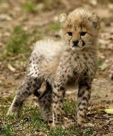 Beautiful Baby Cheetah