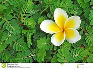 Fleur De Magnolia : fleur de magnolia photo stock image du l ment mimosa ~ Melissatoandfro.com Idées de Décoration