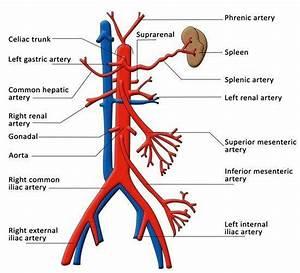 Pictures Of Celiac Artery