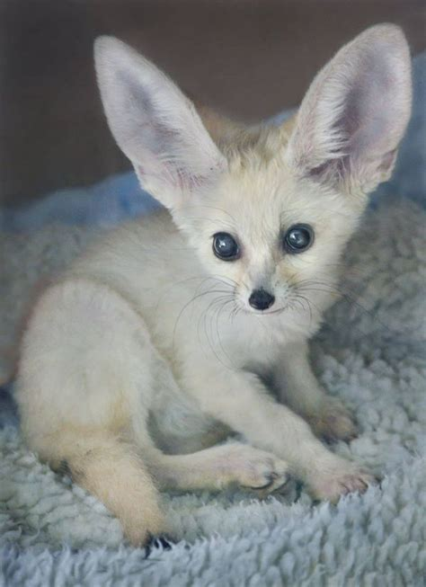 fireball fennec fox  san diego zoo zooborns