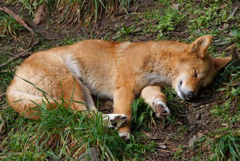 Filecanis Lupus Dingo Sleeping Jpg Wikimedia Commons