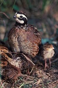 Bobwhite quail chicks | Baby birds | Pinterest | Quails ...