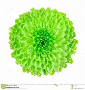 Lime Green Pom Pom Flower Isolated On White Stock Photo ...