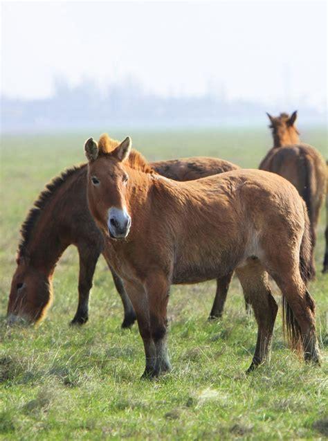 wild horse przewalski horses domestic animals britannica ancestors animal domesticated joyfull shutterstock przewalskis przewalskii caballus
