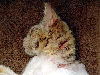 cat mange pictures of cats before and after treatment