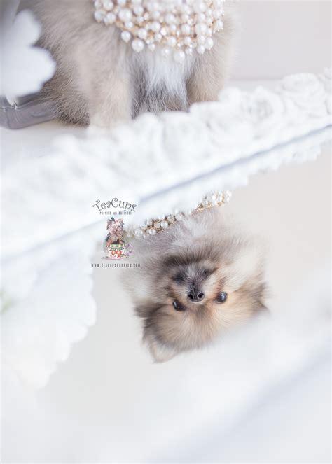 pomeranians  sale  florida teacup puppies boutique