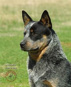 Blue Heeler Australian Cattle Dog- They are so gorgeous ...