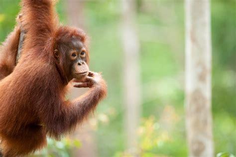 Leonardo DiCaprio strengthens his support for orangutan ...