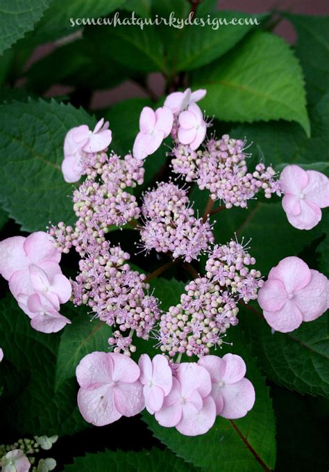lacecap hydrangea pruning hometalk how to prune mop head and lace cap hydrangeas
