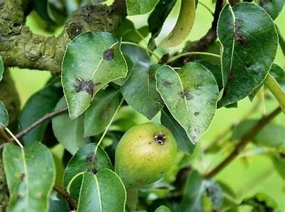 Poirier Tavelure Ephytia Feuilles Maladies Fruits