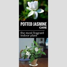 Potted Jasmine Care  The Most Fragrant Indoor Plant