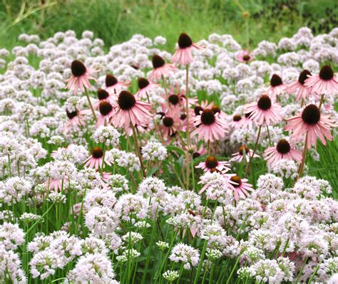 can you plant allium bulbs in an allium you can plant anytime summer beauty gardener s journal