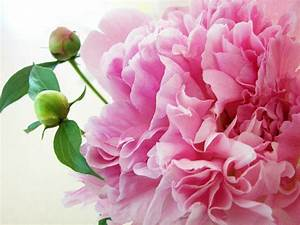 Peony Screensavers and Wallpaper