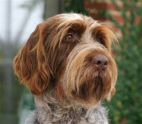 Wirehaired Pointing Griffon Non Shedding by 85 Best Images About Breeds On