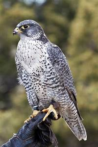 All the Different Species of Falcons Found Around the World  Falcon