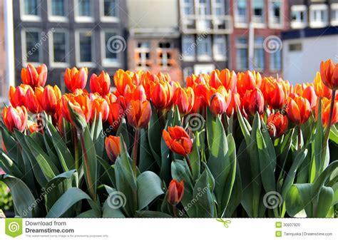 amsterdamse bloemen tulpen amsterdam in den tulpen stockfoto bild von leuchte