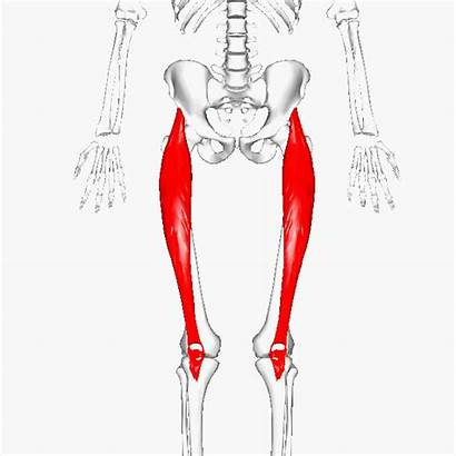 Femoris Rectus Hip Knee Thigh Muscle Muscles