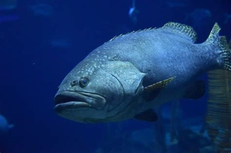 nassau grouper groupers season during mate spawn moon every november march mating southern