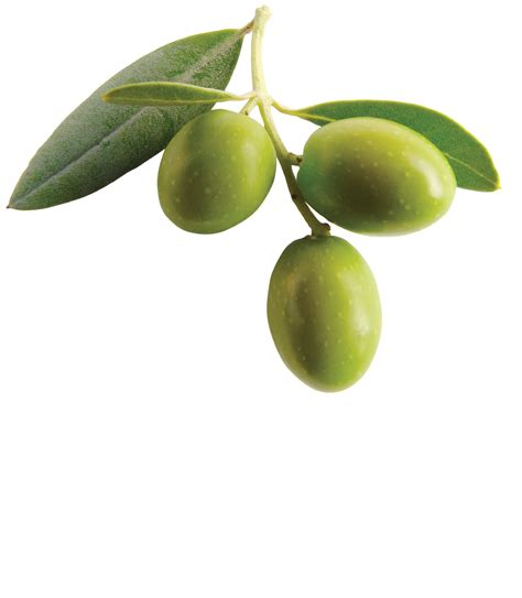 olive and the meaning and symbolism of the word olive