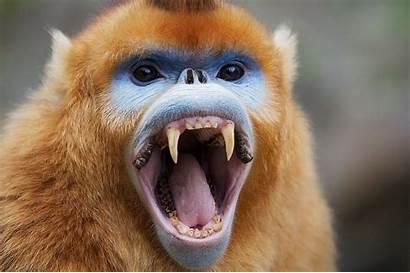Monkey Snub Nosed Golden Animals Monkeys Exist