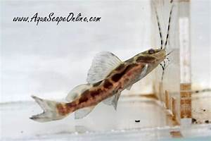 "Marble Sailfin Catfish 2"" - Product View"