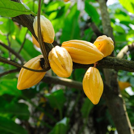 chocolate plants chocolate cocoa plant fast growing trees com