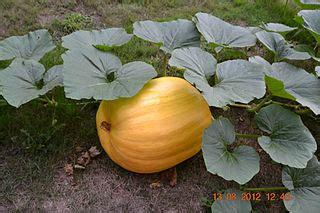 Types Of Pumpkin Plants shrubs amp trees the little world