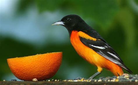 orange oriole bird so pretty for the birds pinterest