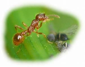 Ameisen Mit Flügel : rote gartenameise im tierportr t tierlexikon mediatime services ~ Buech-reservation.com Haus und Dekorationen