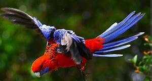 Crimson rosella in flight | Beautiful Birds | Pinterest