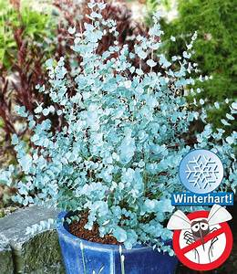 Winterharte Sträucher Dauerblüher : winterharter eukalyptus 39 azura 39 anne 39 s garten ~ Articles-book.com Haus und Dekorationen