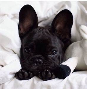 french bulldog on Tumblr