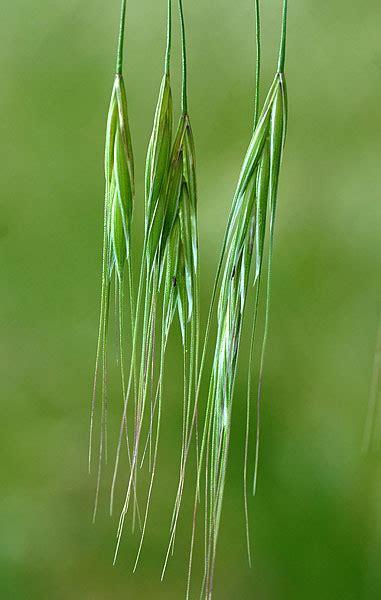 http://www.botarela.fr/Poaceae/Taxons/Bromus-sterilis.html