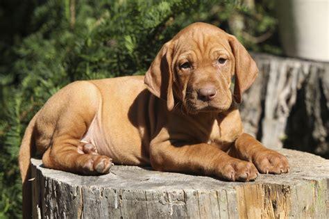 vizsla puppy breeder tips for pet parents preparing for