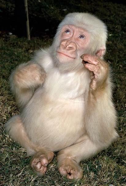 Gorilla Albino Snowflake Animals Animal Planet Funny