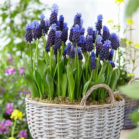 zyverden grape hyacinths bulbs multi colored latifolum