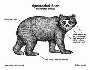 Bear  Spectacled