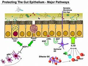 The Gut Epithelium Exhibits Several Pathways That Protect