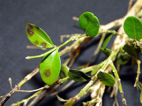 lookout    plant disease boxwood blight